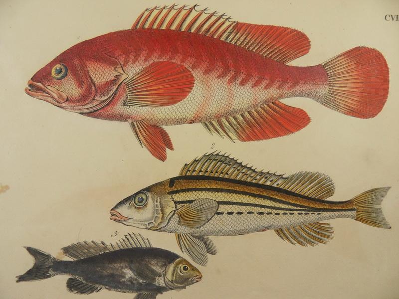 Barsch schr tzer fisch angeln altkol lithographie strack for Fisch barsch